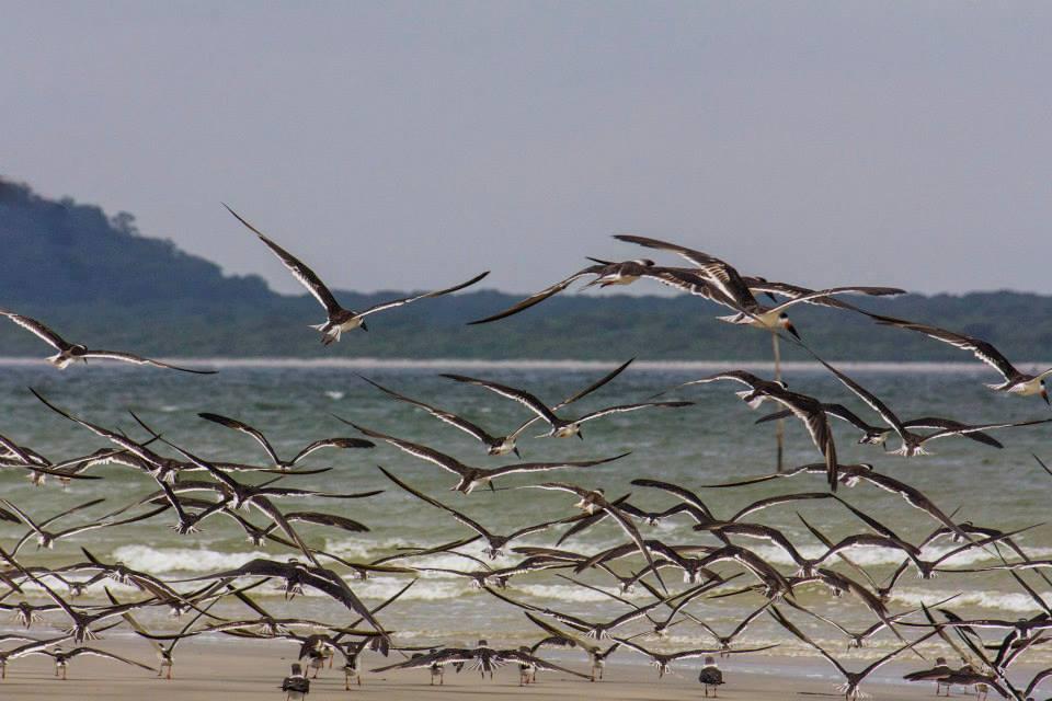 Ilha das Peças - Revoada de aves marinhas. Foto: Edison Gonçalves ₢